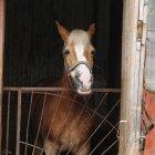 В Коми введен карантин по лептоспирозу лошадей